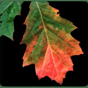 autum-leaf